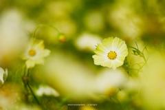 幸せの黄色いコスモス