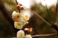 熱田神宮の梅