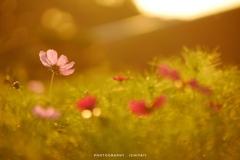 今年最初の秋桜を