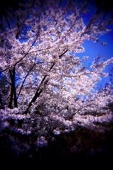 醍醐寺の桜#4