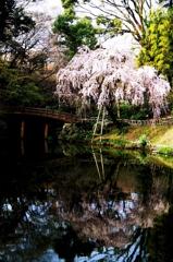 池と枝垂桜 - IMGP1683