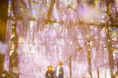 wisteria dream