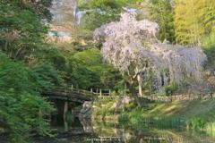 枝垂桜は朝陽を浴びて
