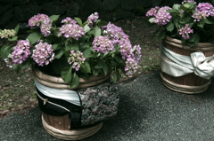 帯と紫陽花 - IMGP2741