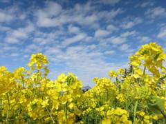 空と菜の花と - IMG_1855