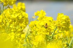 菜の花とミツバチ - DSC07259