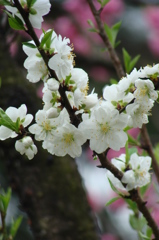 京都御苑の桜 - DSC07460