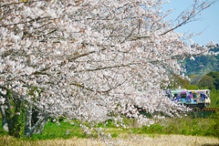 桜彩るうなぴっぴ