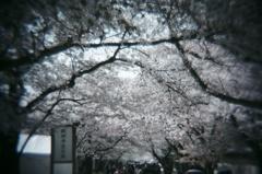醍醐寺の桜#2