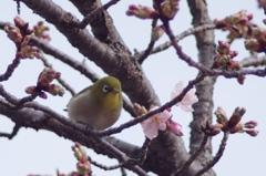 春ヲ先ドリ