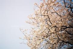 いつもの公園 30年前のような桜と空