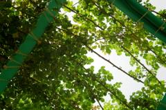 Green leaves - IMGP2505