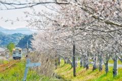 桜並木へ向かって