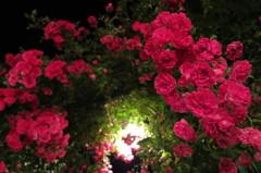 Rose last - IMG_2926