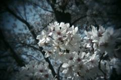 醍醐寺の桜#1