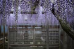 紫雨乃如く