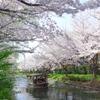 屋形船、桜並木を往く