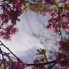 いつもの公園、いつもの河津桜