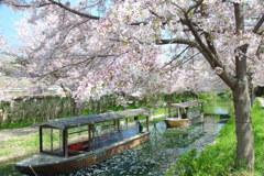 桜散る川岸で