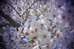 醍醐寺の桜#3