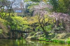 枝垂桜の咲き始める頃