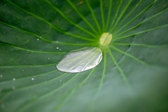 ハスの葉に貯まった水