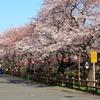 川越氷川神社裏の桜~道路際~