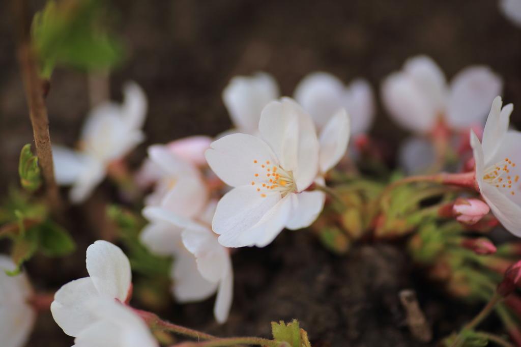 桜をマクロレンズで撮影。