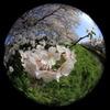 魚眼レンズで桜