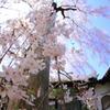 川越中院のしだれ桜