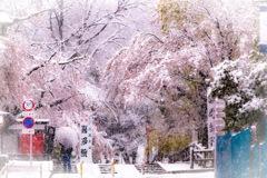 川越喜多院 満開の桜と雪