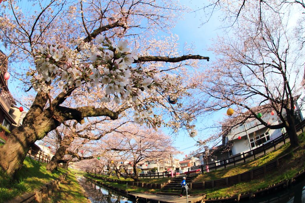 川越氷川神社裏の桜~川縁~
