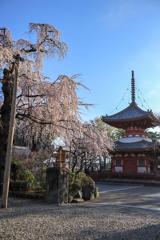川越喜多院のサクラと塔