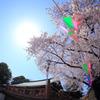 2015/03/30 川越喜多院の桜