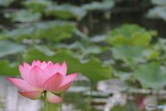 黒沼公園の蓮