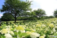 アナベルの咲く丘