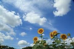 エンジェルドーム 向日葵