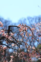 小石川後楽園の梅(12)