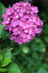 白山神社の紫陽花(10)