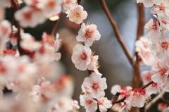 小石川後楽園の梅(4)