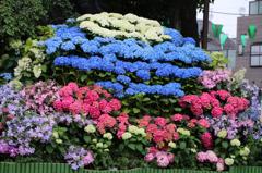 白山神社の紫陽花(2)