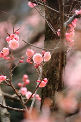 小石川後楽園の梅(1)