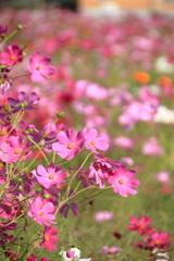 初秋の秋桜 2017 (2)