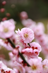 小石川後楽園の梅(2)