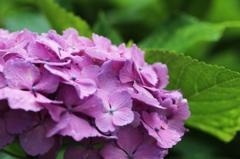 白山神社の紫陽花(9)