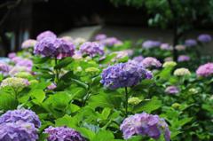 白山神社の紫陽花(11)