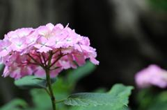 白山神社の紫陽花(4)