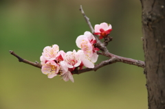 小石川後楽園の梅(6)