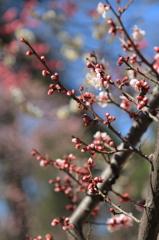 小石川後楽園の梅(3)