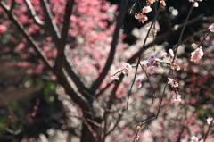 小石川後楽園の梅(9)